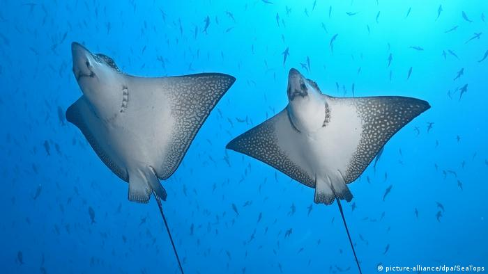 Two sunfish spotted in waters near Wolf Island, Galapagos archipelago, Ecuador