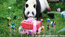 200730 -- CHANGCHUN, July 30, 2020 -- Giant panda Chu Xin prepares to enjoy the birthday present at the panda hall of Siberian Tiger Park in Changchun, northeast China s Jilin Province, July 30, 2020. A birthday party was held to celebrate the fourth birthday of giant pandas Chu Xin and Mu Yun on Thursday. CHINA-JILIN-GIANT PANDAS-BIRTHDAY CN LinxHong PUBLICATIONxNOTxINxCHN