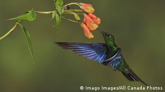Ecuador Yanacocha Naturschutzgebiet | Blauflügelkolibri Great Saphirewing