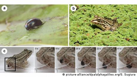 Beetle escapes death by exiting a frog's intestines through its sphincter (picture-alliance/dpa/alphagalileo.org/S. Sugiura)