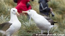 Argentinien I Albatross