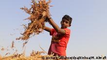 16.06.2020, Jemen, Hajjah: Ein Junge hältwährend der Ernte Maisstauden in den Händen. Foto: Mohammed Alwafi/Xinhua/dpa +++ dpa-Bildfunk +++ |