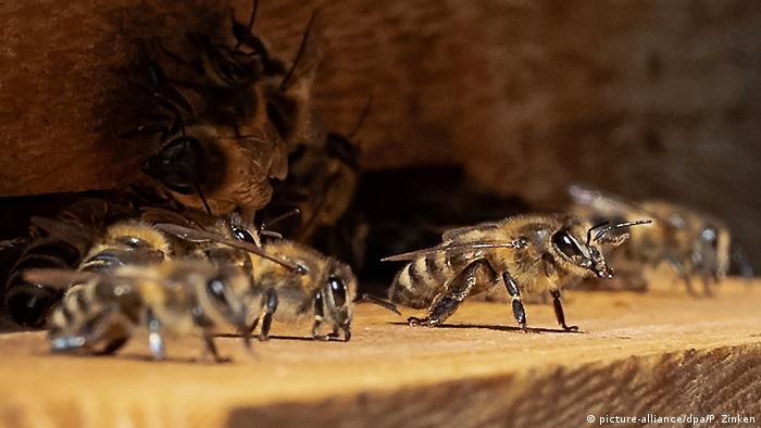 Пчелы бундестага позируют фотографам