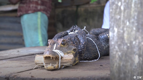 A crocodile with its mouth tied together with string