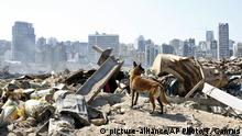 A dog of the French rescue team searches for survivors at the scene of this week's massive explosion in the port of Beirut, Lebanon, Friday, Aug. 7, 2020. Three days after a massive explosion rocked Beirut, killing over a hundred people and causing widespread devastation, rescuers are still searching for survivors and the government is investigating what caused the disaster. (AP Photo/Thibault Camus) |