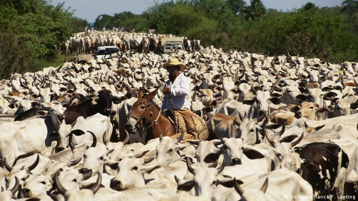 Vaqueiro em cavalo em meio a rebanho de gado em meio a área de floresta