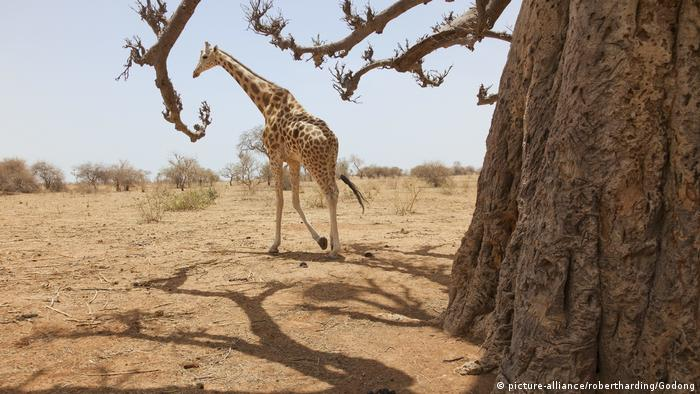 Niger Giraffen-Park Koure (picture-alliance/robertharding/Godong)