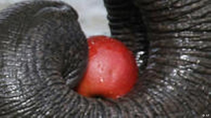 Elefant Porne Rohr