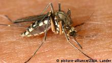 Magdeburg (Sachsen-Anhalt): Eine Mücke (Nematocera) sitzt am 30.08.2002 in Magdeburg auf der Haut eines Menschen und saugt Blut. Während in der Hochwasserregion die Pegelstände weiter gesunken sind, macht eine durch die Feuchtigkeit ausgelöste Mückenplage den Menschen zu schaffen. Mancherorts ist Anti-Mückenspray knapp geworden. Lediglich die Weibchen sind es, die stechen und das Blut saugen, weil sie es für die Fortpflanzung benötigen. Der Grund für den belastenden Juckreiz nach dem Stich ist ein Sekret, das die Mücke zur Verhinderung der Blutgerinnung in die Wunde absondert. (MGB04-300802)   Verwendung weltweit
