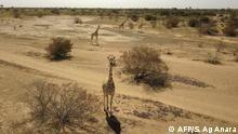 Niger Giraffen-Park Koure