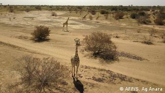 Dans la localité de Kouré vivent les dernières girafes d'Afrique de l'ouest