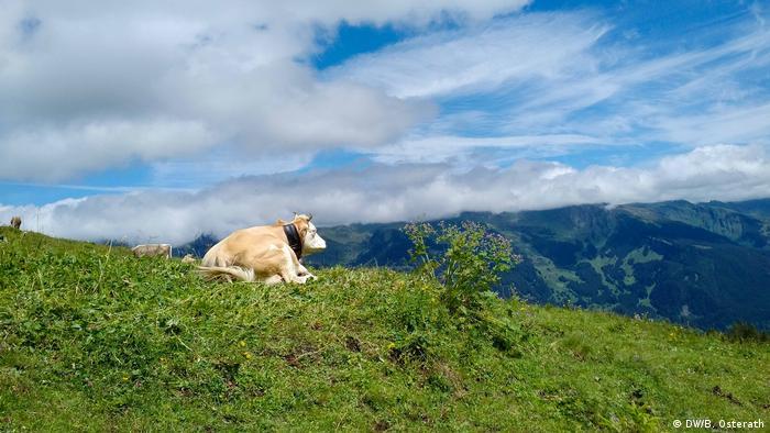 Cow on a meadow in Switzerland