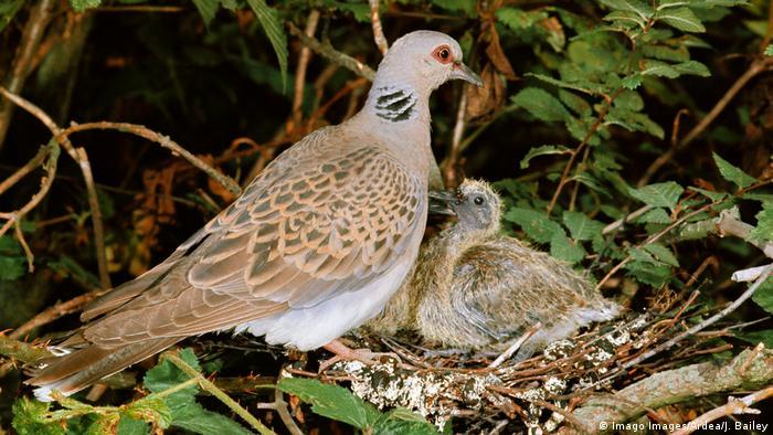 Turteltaube Jungtier im Nest