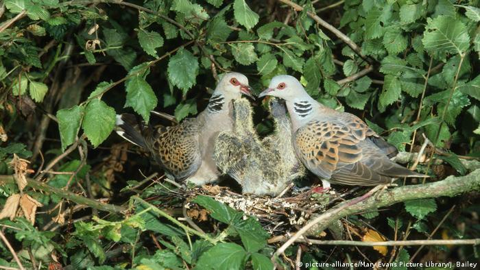 Turteltaube Jungtiere im Nest