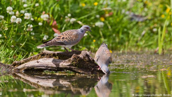 Two turtle doves drinking water