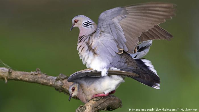 A breeding pair of turtle doves