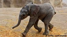 An elephant calf is seen in the Africam Safari park in Puebla, Mexico on August 14, 2020. - The calf's mother was brought to Mexico as a calf from Nambia, where it had lost its respective mother to poaching. (Photo by JOSÉ CASTAÑARES / AFP)