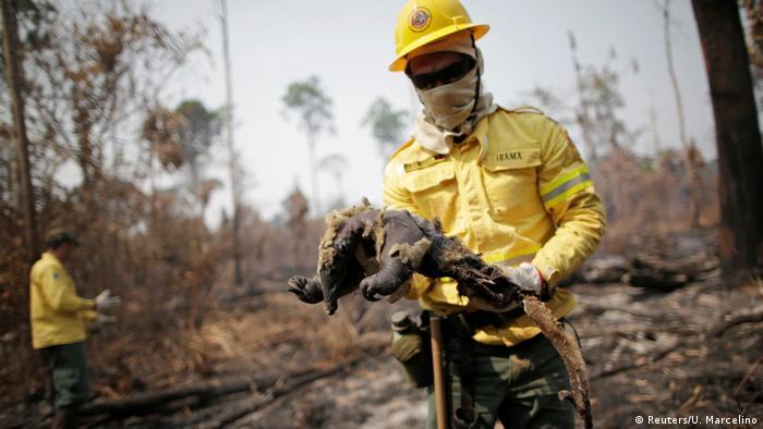 Brigadistas do Ibama recolhem animais queimados em meio a queimada na Floresta Amazônica