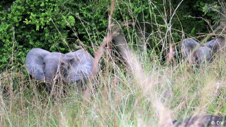 Eco Africa - Gabon's forest elephants get a helping hand