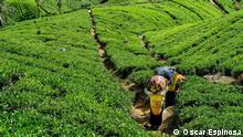 Sri Lanka tamilische Frauen bei Teeernte