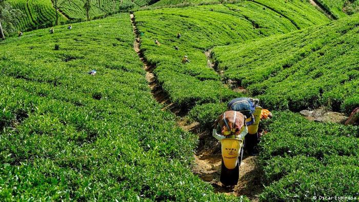 An image of a tea plantation in Sri Lanka