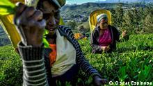 Tamilische Frauen bei der Teeernte in Sri Lanka Fotograf: Oscar Espinosa