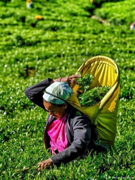 Tamil workers at a tea plantation in Sri Lanka