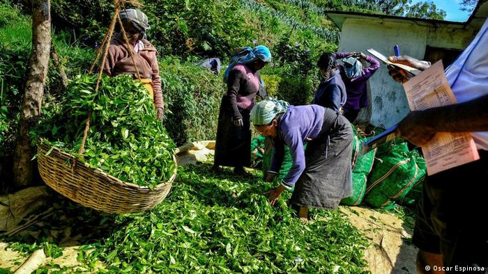 Workers at a tea plantation in Sri Lanka