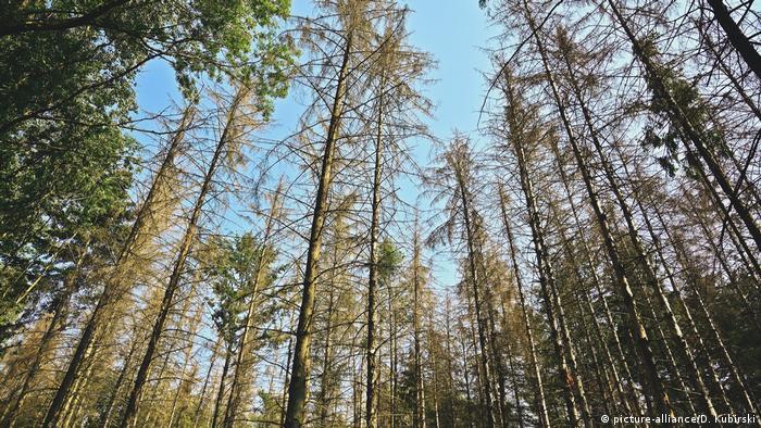 Geschädigte Fichten im Liesborner Holz (Nordrhein-Westfalen) (picture-alliance/D. Kubirski)