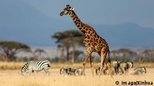 (140718) -- NAIROBI, Jul. 18, 2014 (Xinhua) -- A giraffe is seen at the Amboseli National Park of Kenya, 2014. The annual wildlife migration that kicked off in early July from Tanzania s Serengeti National Park to Kenya s Massai Mara National Reserve marked the start of Kenya s tourism peak season. (Xinhua/Meng Chenguang) (djj) KENYA-AMBOSELI-WILDLIFE-TOURISM-PEAK SEASON PUBLICATIONxNOTxINxCHN