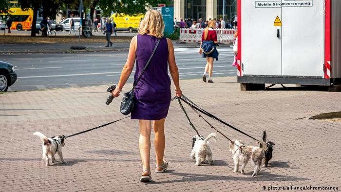 A woman walking four small dogs on leashes