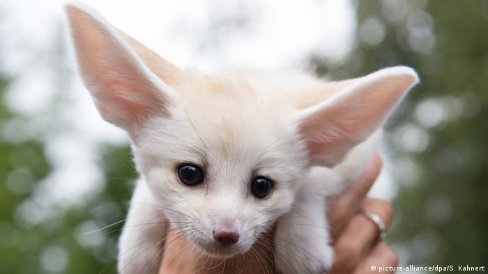 Детеныш миниатюрной лисицы