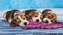 Haustiere | Schlafende Beagle Welpen | Symbolbild