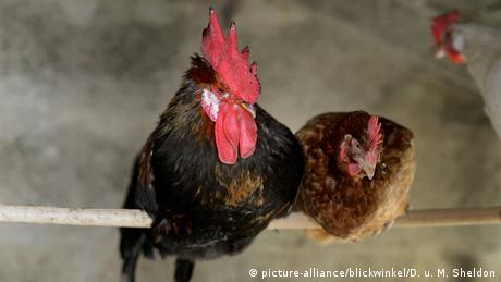 Hahn und Henne sitzen auf einer Stange (picture-alliance/blickwinkel/D. u. M. Sheldon)