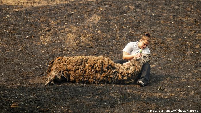 BdTD Waldbrände Kalifornien   Tierärztin versorgt verletztes Lama (picture-alliance/AP Photo/N. Berger)