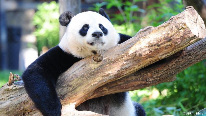 Washington Zoo | Nachwuchs bei Panda-Weibchen Mei Xiang (AFP/K. Bleier)