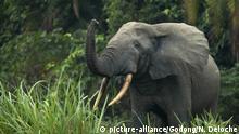 DR Kongo   afrikanischer Elefant im Odzala-Kokoua National Park