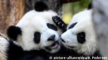 BdT Berlins Panda-Zwillinge werden ein Jahr alt