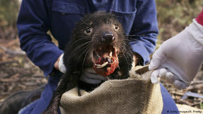 A Tasmanian devil with facial cancer is captured in a sack by wildlife workers
