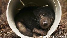 Australien Tasmanische Teufel Krankheit Krebs