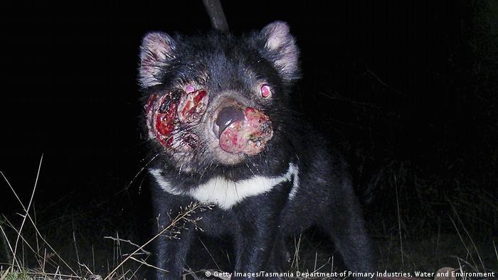 A Tasmanian devil with advanced facial cancer