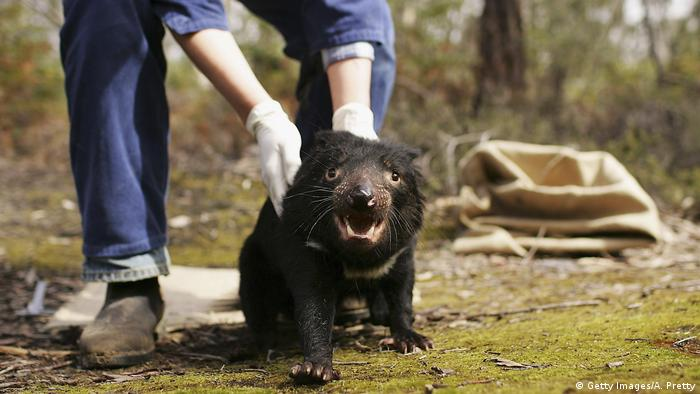 A Tasmanian Devil is released
