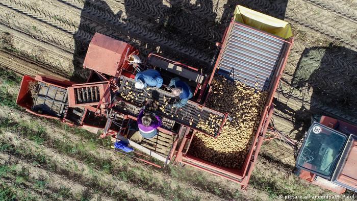 Deutschland Kartoffelernte in Brandenburg (picture-alliance/dpa/P. Pleul)