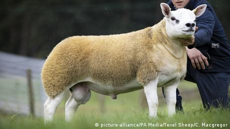 Ovaj ovan je najskuplji na svetu i upravo je kao takav ušao u Ginisovu knjigu rekorda. Kupci na aukciji u Škotskoj su rekli da ima sve, da je prefektan predstavnik rase teksel koja vodi poreklo iz Holandije i dominira u ovčarstvu u Velikoj Britaniji gde se ovčetina i jagnjetina rado jedu. A jedno od tradicionalnih jela severnjaka Škotlanđana je hagis - ovčiji želudac punjen drugim iznutricama.