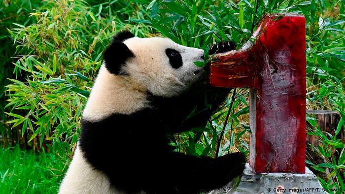 Blizanci pande slave prvi rođendan. Pit i Paula rođeni su pre godinu dana u zoološkom vrtu u Berlinu gde su njihovi roditelji, mama Meng Meng i tata Điao Ćing, 2017. stigli na pozajmicu iz Kine. Oni će se svi zajedno vratiti u svoju domovinu kada mladunci još malo porastu. Do tada: srećan rođendan!