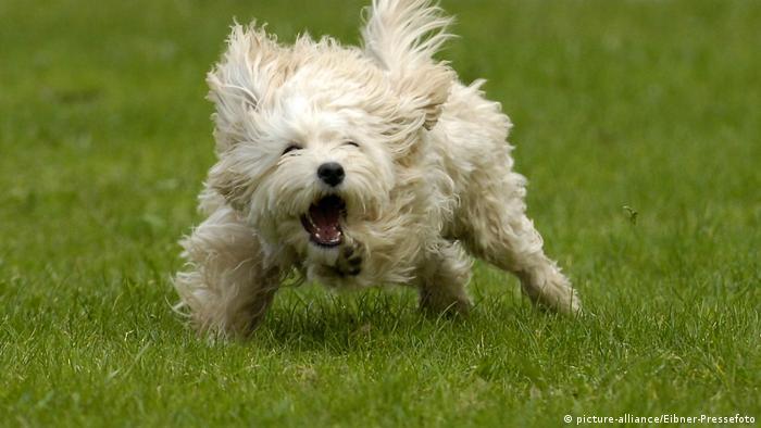 Symbolbild Russische Redewendungen   Bellender Hund
