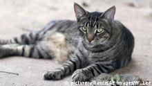 USA Katze im Ernest Hemingway Haus
