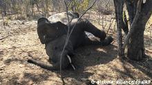 Simbabwe toter Elefant