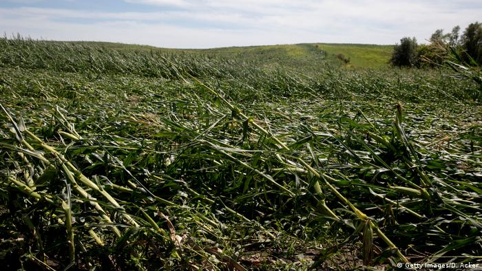 Corn plants lie flat and broken in a field, crushed by a storm