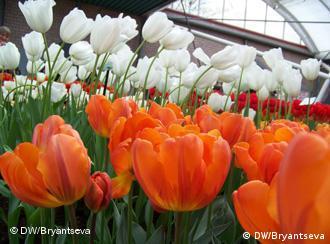 Тюльпаны эрмитаж оранжевый и вождь